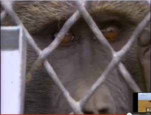 Baboon within cage
