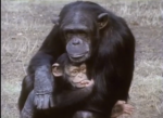 Chimpanzee caring for child