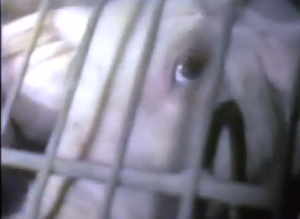 Caged animals in horrific conditions, going to slaughter