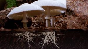 mycelium filaments from mushrooms