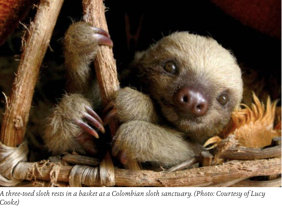 three-toed baby sloth at Columbian Sloth Sanctuary