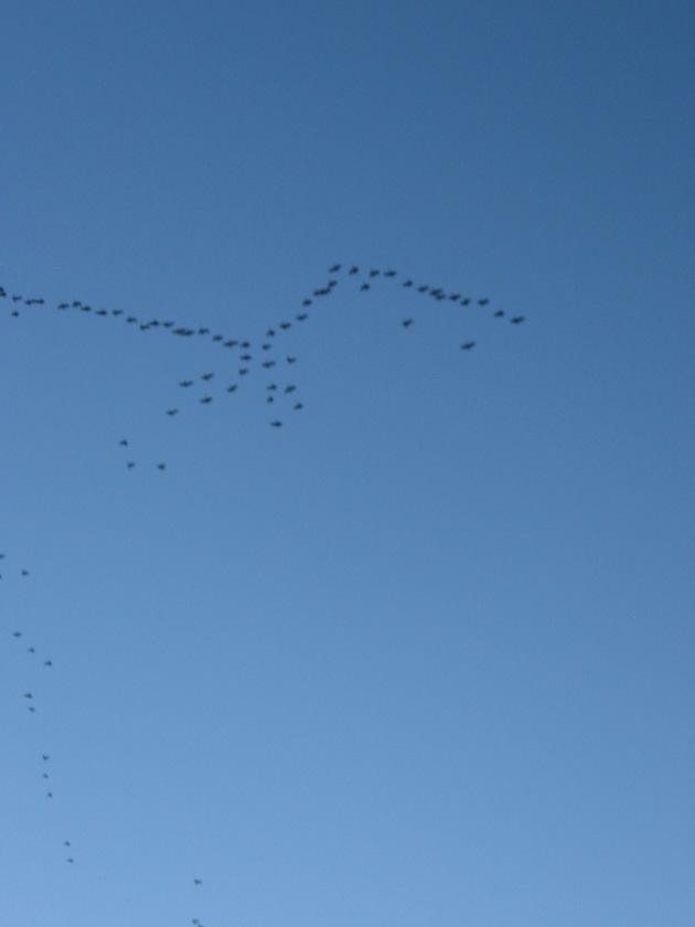 geese, dusk