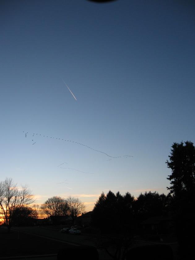 geese, northwest