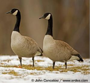 pair of Canada Geese, Branta Canadensis