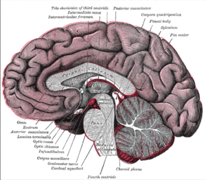 Corpus Callosum neural fibers connecting two cerebral hemispheres, brain