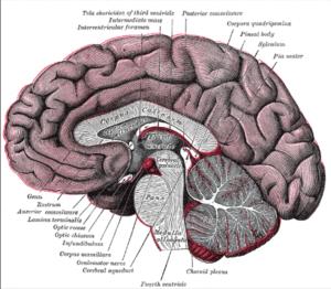 Corpus Callosum neural fibers connecting two cerebral hemispheres, brain