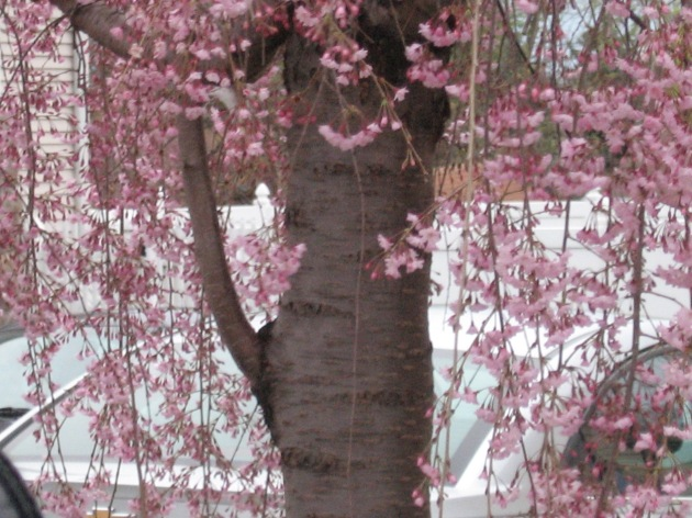 blossoming_tree