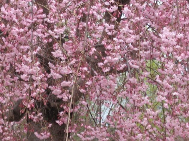 blossoms_pink_haze