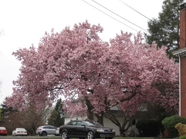 magnolias_have_sprung