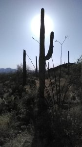 sunlit saguaro cactus