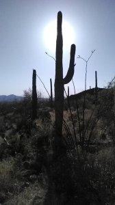 Saguaro cactus, onoran desert, southwest