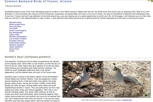 common backyard birds of Tucson - Sonoran desert Arizona, Gambel's Quail, Callipepla gambelii