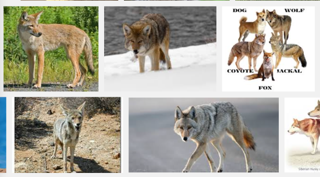 coyotes difference between dog, wolf, coyote, jackal and fox