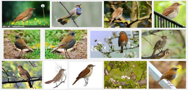 nightingale pics