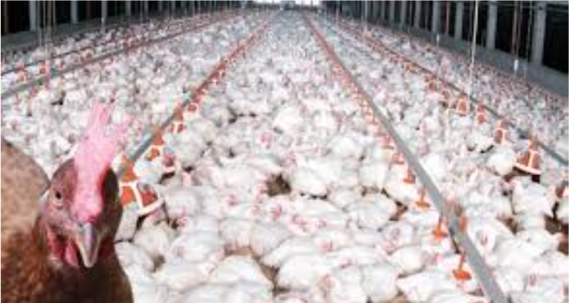 environmental impact of poultry industry