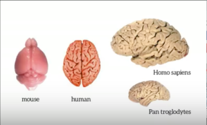 Human brain is merely a larger size of the Chimpanzee Brain