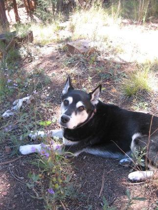 Luna, companion, dog, Santa Fe National Forest
