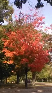 the red maple subject
