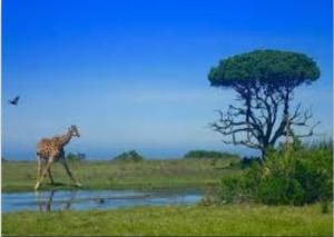1_giraffe bird baobab