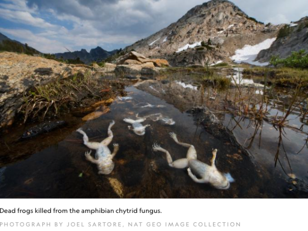Dead Frogs killed by amphibian chytrid fungus photo, Joel Sartore